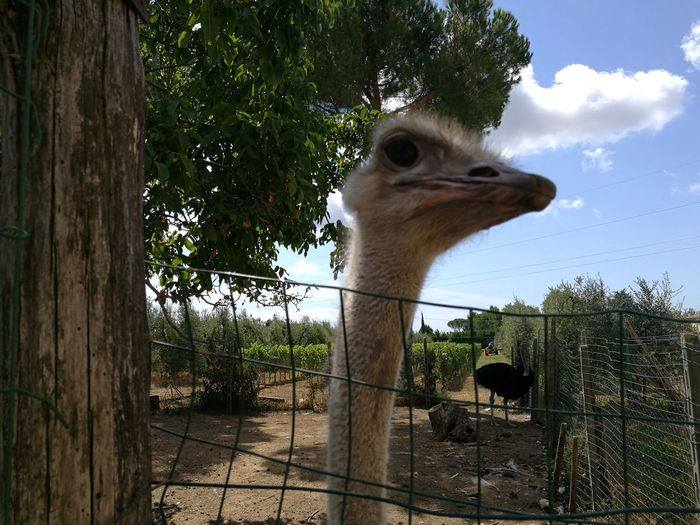 Close-up of ostrich by fence at zoo