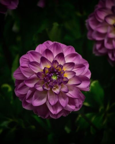 Dahlia Flower Dahlia Flowers Dahlia Flowering Plant Flower Freshness Plant Petal Fragility Inflorescence Flower Head Growth Vulnerability  Beauty In Nature Close-up Pink Color Focus On Foreground Nature No People Outdoors Zinnia  Park Pollen