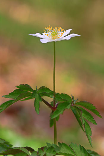 Wood anemone Plant Flowering Plant Flower Growth Vulnerability  Fragility Freshness Leaf Plant Part Beauty In Nature Close-up Flower Head Inflorescence Petal Nature Focus On Foreground Green Color Plant Stem No People Pollen Sepal Wood Anemone