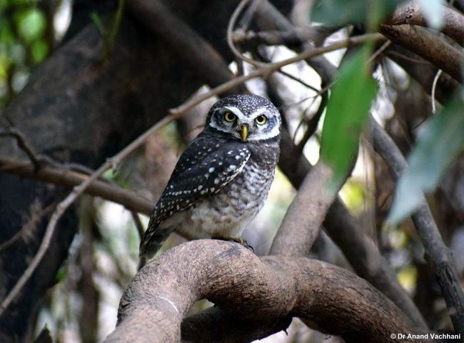Spotted owlet Bird Animal Wildlife Tree Owl Perching One Animal Branch Nature