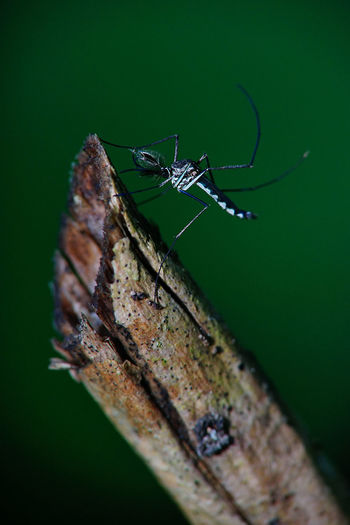 Mosquito Culicidae EyeEm Nature Lover Wood Animal Themes Animal Wildlife Animals In The Wild Bites Close-up Day Green Color Insect Macro Mosquito Nature No People Nyamuk One Animal Outdoors