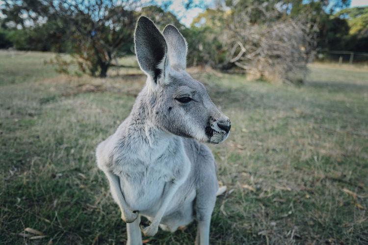 Close-up of eastern grey kangaroo on field
