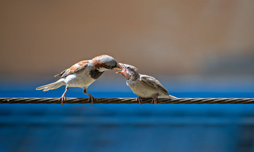 Newly born, hungry baby sparrow barely balancing on wire being fed with food from parents.