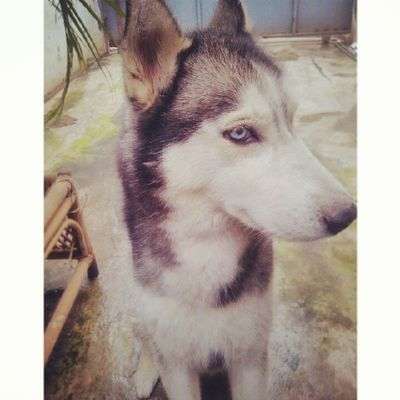 He's the one and only. Call him Benzo who brings another funny moments in my life. Cute yet Strong! Day4 Someonewhomakesyouhappy 30dayphotochallenge Photoadayapril blue eyed doggy pride siberianhusky huskylove instadog instapet igers instaphoto