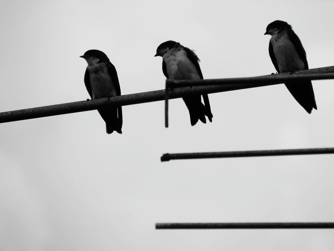 three #ByMe #blackandwhite #photography Bird Perching Raven - Bird Sitting Branch Sky