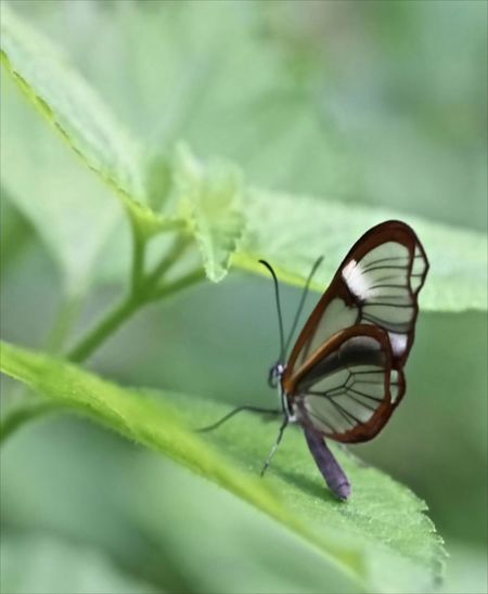 Glass Butterfly Animal Wildlife Animals In The Wild Butterfly Close-up Glass Butterfly Green Color Insect Leaf Nature One Animal