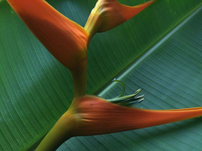 Bird of paradise growing outdoors