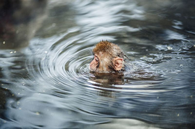 Monkey swimming in hot spring