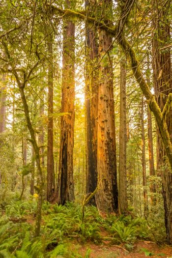 Redwood Forest USA California Dreaming California National Park Redwood National Park Redwood Trees Tree Forest Nature WoodLand Outdoors Scenics Tree Trunk Beauty In Nature Growth Sunlight Wilderness Area Tranquil Scene Day Summer Plant No People Beauty California Dreamin