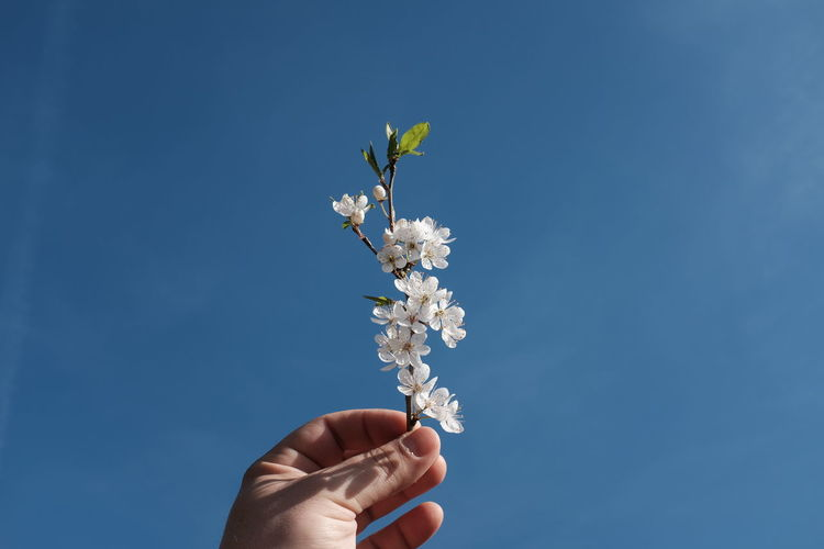 Cropped hand of white cherry blossoms blooming against blue sky