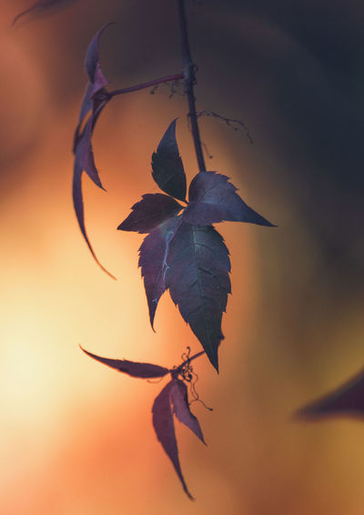 Close-up of orange leaves against sky during sunset