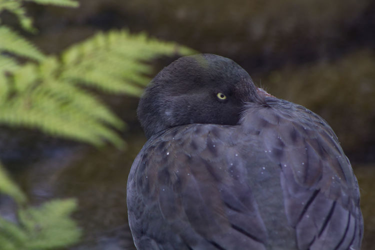 Close up of a endangered Blue Duck, only found in New Zealand Endangered Species Native Animal Wildlife Blue Duck Close Up Close-up Conservation Duck Endemic Endemic Species Extinct Feather  Grey Island Looking Nature No People One Animal Protected Rare River Survivor Tropical Whiote. Wildlife
