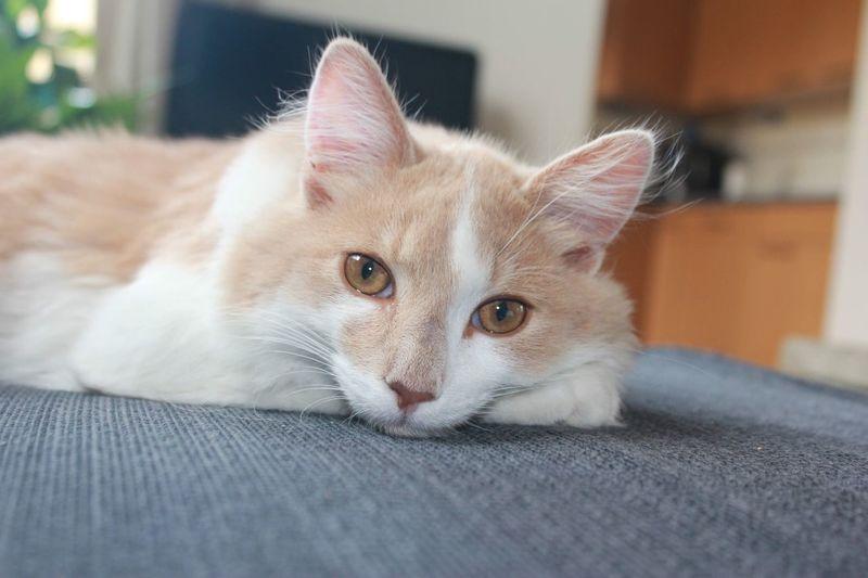 Cat Miauw