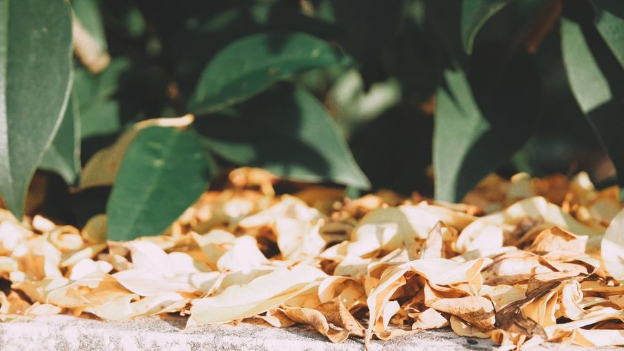 EyeEm Selects Leaf Plant Part Close-up Nature No People Day Leaves Sunlight Focus On Foreground Plant Abundance Beauty In Nature Growth Outdoors Autumn Green Color