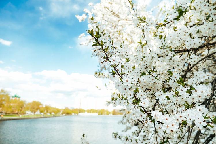 Cherry blossom tree against sky