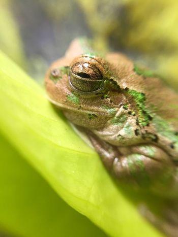 ニホンアマガエル Flog カエル 両生類 Amphibian Close-up