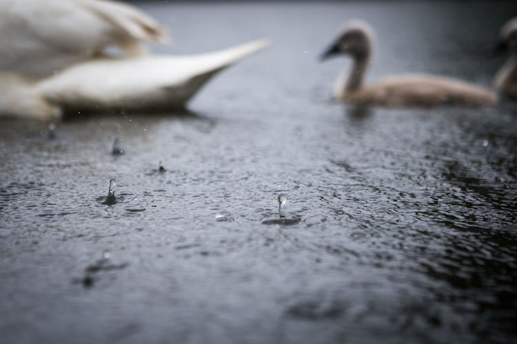 Abstract Animal Themes Animals In The Wild Broken Canal Close-up Cygnet Detail Deterioration Dirty Focus On Foreground One Animal Plank Rain Rough Rusty Selective Focus Surface Level Swan Textured  Water Wildlife Wood Wood - Material Wooden