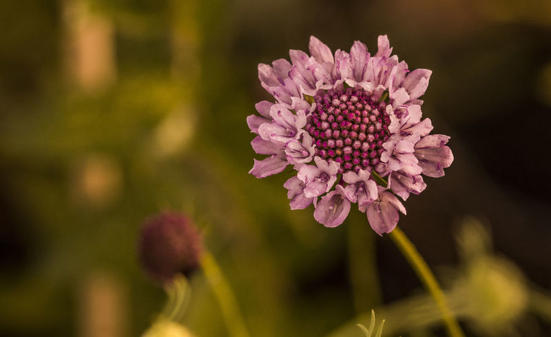 Flower Flower Head Flowers Garden Garden Photography Pincushion Shyraphotography Sonyalpha