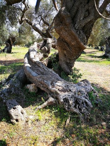 Millenary Olive Tree Tree Leaf Plant No People Tranquility Sky Clear Sky Nature Beauty In Nature Sunlight Green Earth Outdoors Salento Puglia Lecce My Country Tranquil Scene Green Color Day Travel Destinations