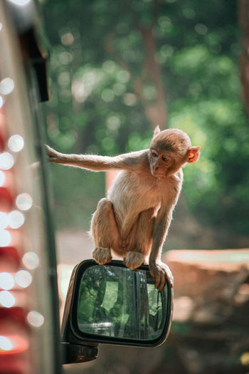 A monkey looking forward sitting on the mirror of car and looking inside the car through window
