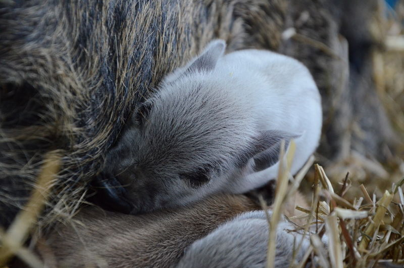Close-Up Of Piglets Sleeping