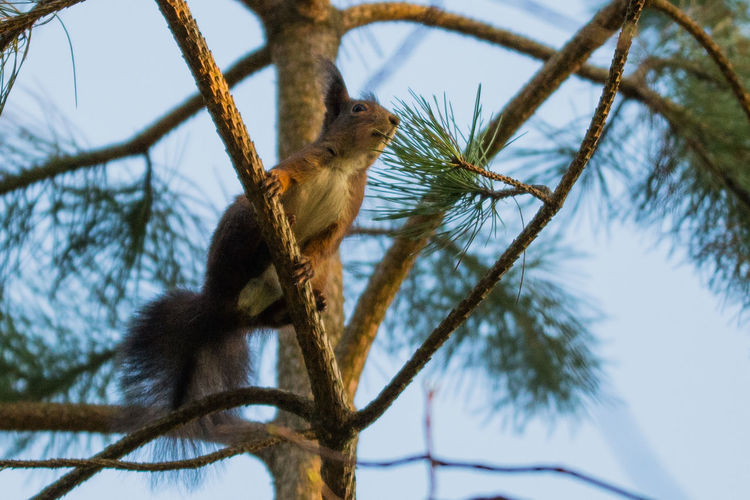 Eichhörnchen Sciurus Vulgaris Nagetier Animal Animal Themes Branch Animal Wildlife Plant One Animal Tree Vertebrate Low Angle View Animals In The Wild Mammal Nature Focus On Foreground No People Day Rodent Squirrel Sky Outdoors Bare Tree