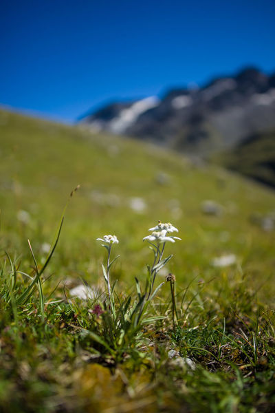 Alpine Stars Beauty In Nature Clear Sky Close-up Day Field Flower Flower Head Freshness Grass Green Color Growth Landscape Mountain Nature No People Outdoors Plant Scenics Selective Focus Sky Tranquil Scene Tranquility