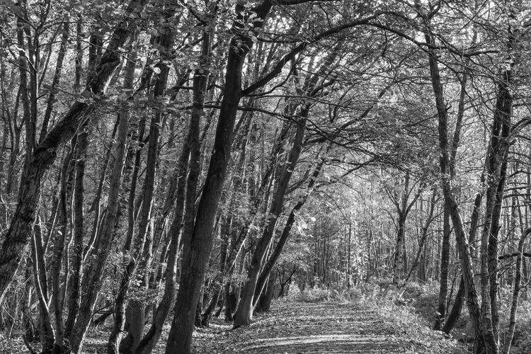 Autumn in black and white in Het Stropersbos, Stekene, Belgium EyeEm Market © Tree Trunk Forest Beauty In Nature Tranquil Scene WoodLand Treelined Tree Canopy  Black And White Stekene Het Stropersbos Belgium Sony A77ii Autumn