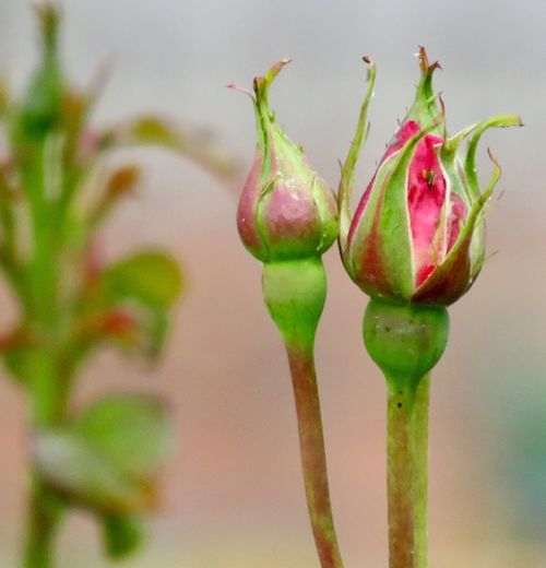 Rose bud Rose