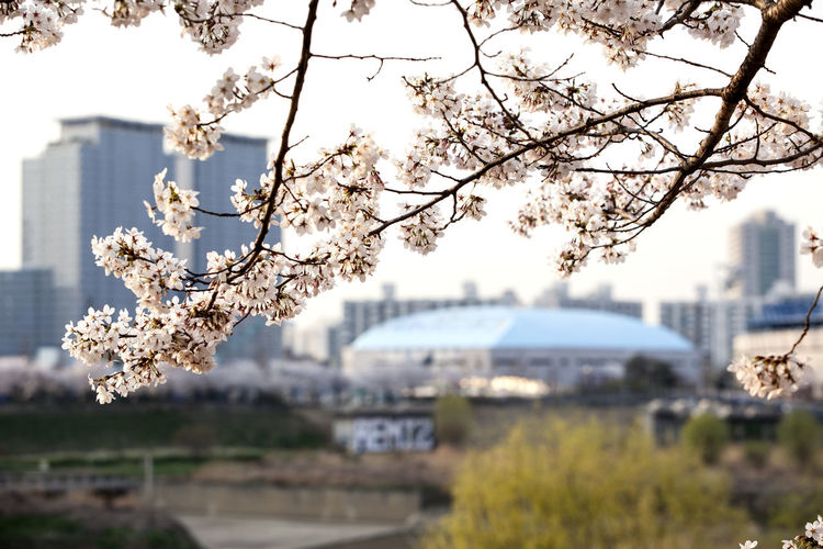 Anyangcheon Apple Blossom Apple Tree April Beauty In Nature Blooming Blossom Branch Cherry Blossom Cherry Tree Close-up Dome Flower Focus On Foreground Fragility Freshness Growth In Bloom Nature Petal Spring Spring Time Tree Twig White Color