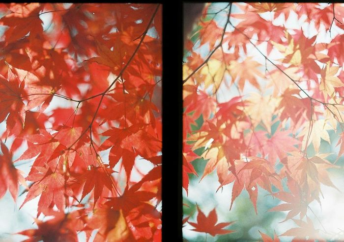 Filmcamera Film Photography Film Maple Nature Tree Beauty In Nature Red