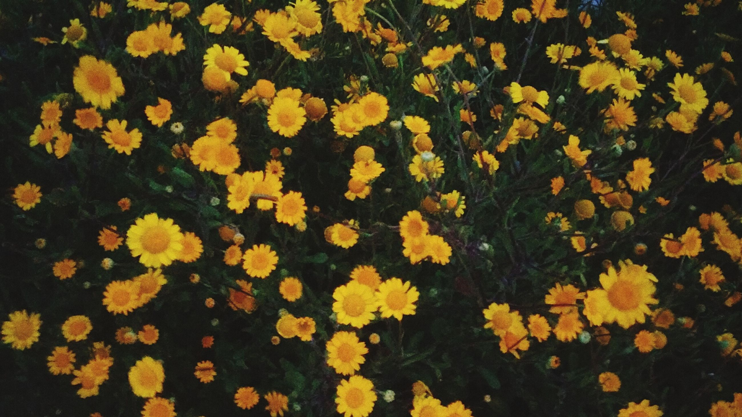 yellow, flower, fragility, freshness, nature, no people, growth, beauty in nature, backgrounds, autumn, close-up, outdoors, flower head, day