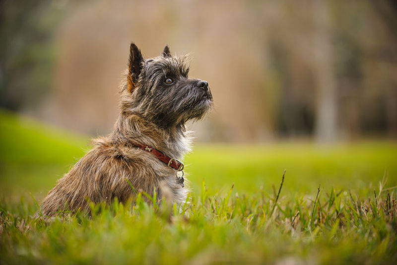 Cairn Terrier dog Sitting Animal Themes Cairn Cairn Terrier Day Dog Domestic Animals Grass Mammal No People One Animal Outdoors Pets Photography Portrait Purebred Terrier