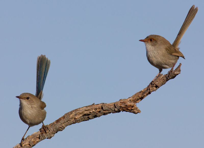 Female Superb Wrens Australian Birds In The Wild Animal Themes Animal Wildlife Animals In The Wild Beauty In Nature Bird Branch Clear Sky Close-up Day Low Angle View Nature No People One Animal Outdoors Perching Sky Tree