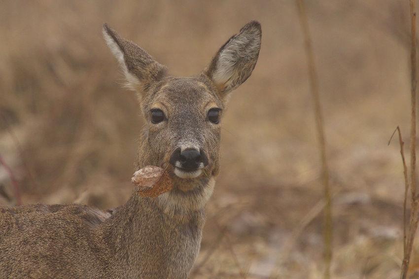 Animal Animal Themes Beauty In Nature Biesbosch Close-up Outdoors Portrait Ree Reegeit Roe Deer Roe Deer Eating Wildlife
