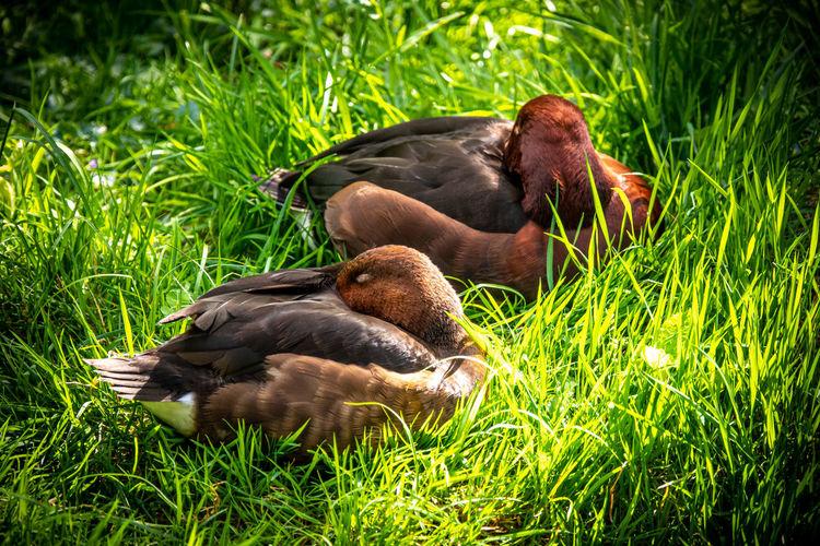 Duck resting on field