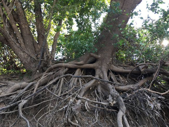 Tree Root Tree Trunk Nature Growth Branch Outdoors