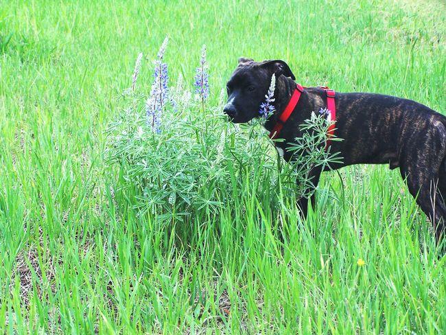 Salvia Smelling The Flowers Brindle Pitbull Purple Wildflowers Montana Montana Usa