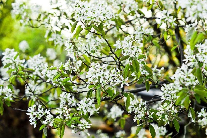 Flowering Plant Freshness Tree Branch Felsenbirne Flower Fragility Prunus Spring Spring Flowers Springtime Vulnerability