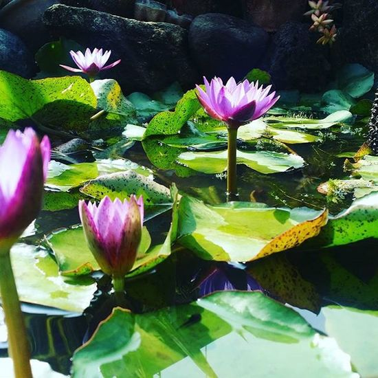 LOTUS 👌 Lotus Flowermagic Flowers Nature Green Biblecollege Day Sun Bloom Pink Blooms Beautiful Ami Instalove Instacool Instadaily Random Saiacs Bengaluru Karnataka India Samsung SamsungGear Note3 Flowerporn outofhashtags