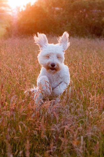 White dog running on field during sunset