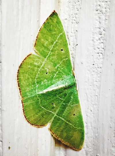 Green Moth Leaf Green Color Close-up No People Freshness Directly Above Day Nature Mother Nature DeBary Florida Life