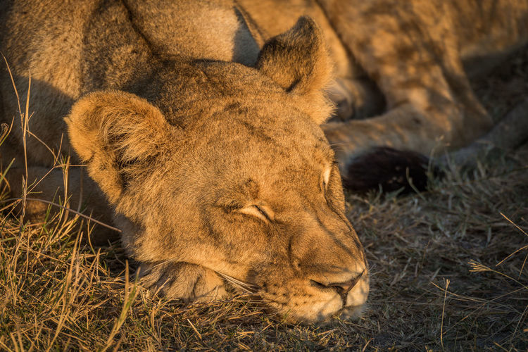 Animal Head  Animal Themes Brown Close-up Day Field Focus On Foreground Grass Lions Lying Down Mammal Nature No People Outdoors Relaxation Resting Whisker