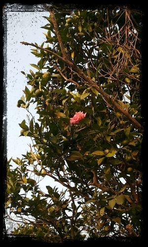 lonly rose on top of tree Pink Rose