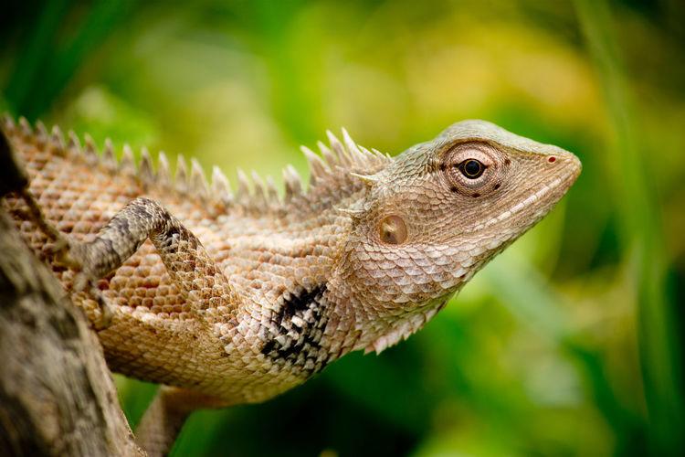 Close-Up Of Oriental Garden Lizard