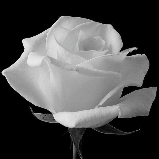 White Rose Black And White Favourite Flower Heartmelting Love White Roses