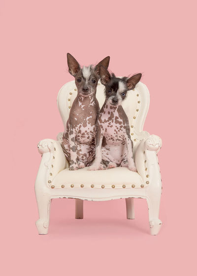 Two cute naket crested puppy dogs sitting on a white baroque chair on a pink background Chair Chinese Crested Puppies Cute Pets Animal Themes Chinese Crested Chinese Crested Dog Cute Dogs Dog Looking At Camera Pets Pink Background Pink Color Puppy Studio Shot
