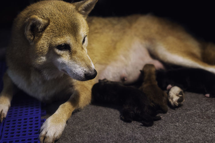 Shiba inu mother dog currently raising a new baby. japanese dog puppies and mom