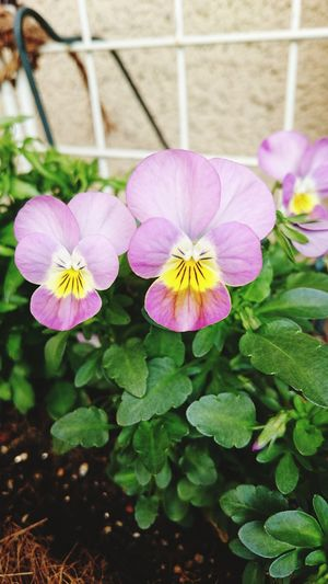 Flower Plant Nature Petal Pink Color Fragility Beauty In Nature Flower Head Purple No People Outdoors Freshness Day Multi Colored Close-up Growth Flowerbed Face かわいい 癒し系