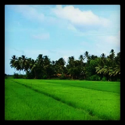 Rice fields in beautiful Sri Lanka. Nature SriLanka Srilankatailormade EarthInstagram nature allshots_ ricefields